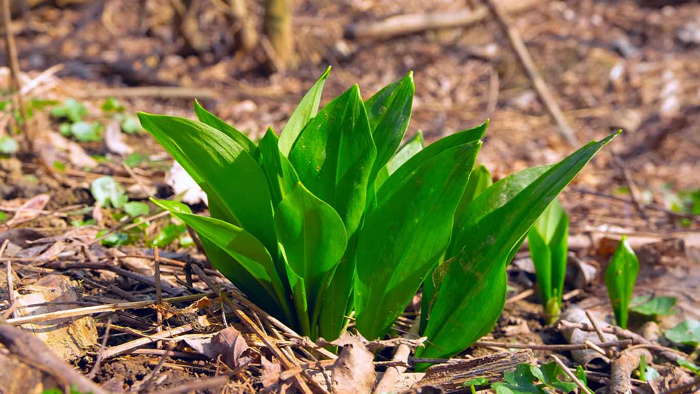 Patch of ramps for ramp hunting blog